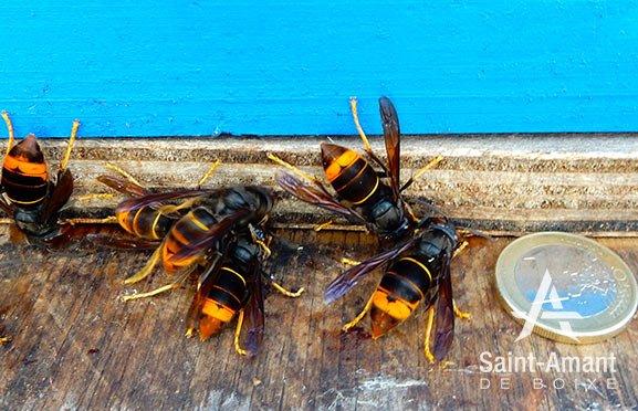 Saint-Amant-de-Boixe-environnement-frelons-asiatiques-attaque-ruche