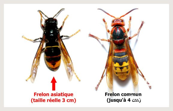 Saint-Amant-de-Boixe-environnement-frelons-asiatiques-comparaison
