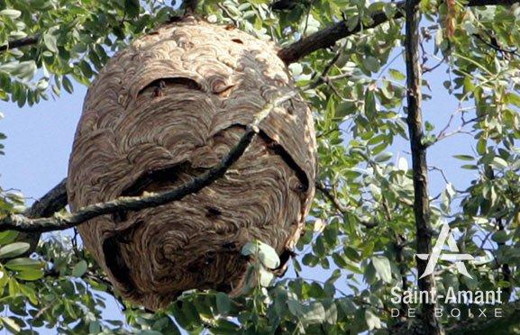 Saint-Amant-de-Boixe-environnement-frelons-asiatiques-nid-01