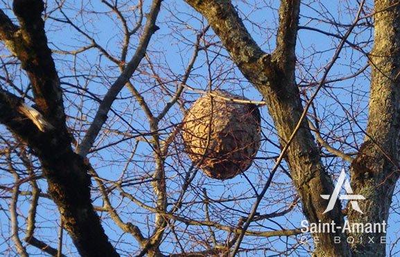 Saint-Amant-de-Boixe-environnement-frelons-asiatiques-nid-02